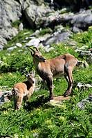 alpine ibex Capra ibex, mother with baby, Switzerland, URI