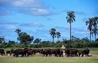 African buffalo, Savannah buffalo Syncerus caffer caffer, herd, Zimbabwe, Hwange National Park
