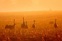 common crane Grus grus, yelling on a harvested field maize field at sunrise, Germany, Mecklenburg_Western Pomerania