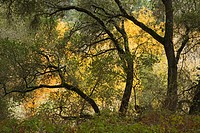 oak trees during autumn in GARLAND REGIONAL PARK, USA, California, Carmel Valley