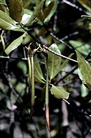 red mangrove Rhizophora mangle, fruits
