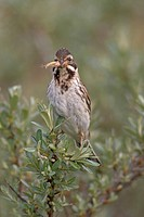 reed bunting Emberiza schoeniclus, reed bunting female with inseckts in bill, Netherlands, Texel