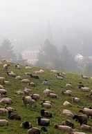 domestic sheep Ovis ammon f. aries, Sheep in the fog, Germany, Baden_Baden