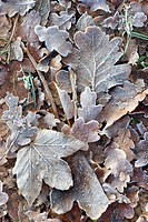winter leaves with hoar frost, Europe, Germany, Baden_Baden