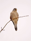 common kestrel Falco tinnunculus, male on a twig, Germany, Brandenburg