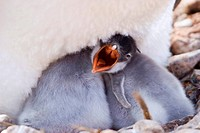 gentoo penguin Pygoscelis papua, chick begs for food, Antarctica, Antarctic peninsula, Paradise Bay