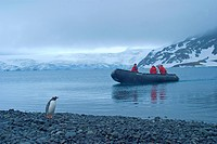 gentoo penguin Pygoscelis papua, zodiak with tourists, Antarctica, Greenwich Island