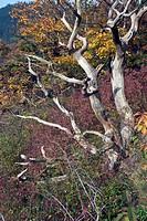 dead trees, Germany, Saxony_Anhalt, Harz
