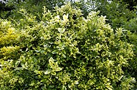 climbing euonymus, wintercreeper euonymus, winter_creeper Euonymus fortunei ´Golden Tip´, Euonymus fortunei Golden Tip, shrub in garden