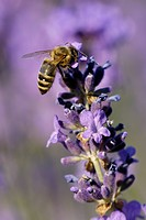 honey bee, hive bee Apis mellifera mellifera, honey bee feeding on Common Lavender, Germany, North Rhine_Westphalia