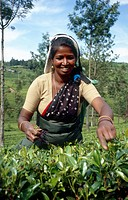 tea picker woman, Sri Lanka, Zentralprovinz, Nuwara Eliya
