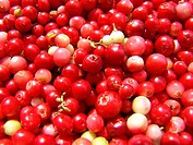 cowberry, foxberry, lingonberry, mountain cranberry Vaccinium vitis_idaea, many fruits, Germany