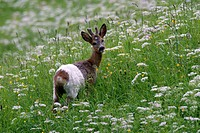 roe deer Capreolus capreolus, one year old roebuck with white colour, defect of pigmentation in flowering meadow, Austria, Tyrol