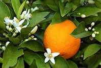 orange Citrus sinensis, flowers and fruit on a tree