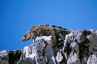 Iguana on a Maya temple, Tulum, Riviera Maya, Mayan Riviera, Yucatan, Mexico