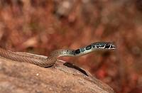 light_green whip snake, Dahl´s whip snake Coluber najadum dahli, Platyceps najadum dahli, portrait, Greece, Samos