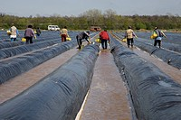 Asparagus cutters from Poland working on an asparagus field covered with dark tarpaulins to support growth, furrows filled with water, Darmstadt, Hess...