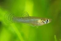 mosquito fish, mosquitofish Gambusia affinis, male, Turkey, Antalya