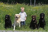 Labrador Retriever Canis lupus f. familiaris, little boy with four Labrador Retrievers in front of flowering meadow