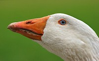 domestic goose Anser anser f. domestica, portrait, Germany, Schleswig_Holstein