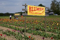 Sign reading Blumen selbst schneiden, pick flowers yourself, field of tulips, people holding flowers, Bergstrasse mountain route, Hesse, Germany, Euro...