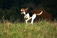Grand Anglo-Francais Tricolor dog, breed of hunting dog, pack dog