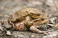 European Toads Bufo bufo mating, Baden_Wuerttemberg, Germany, Europe