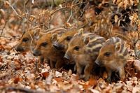 wild boar, pig, wild boar Sus scrofa, piggies resting, Germany, North Rhine_Westphalia