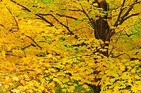 maple Acer spec., in autumn colours, USA, New England, New Hampshire
