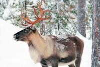 reindeer, caribou Rangifer tarandus, Reindeer in winter forest, Finland