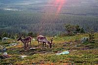 European reindeer, European caribou Rangifer tarandus tarandus, Reindeers fjeld Kaetkae, Finland, Lapland