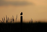 Eurasian sky lark Alauda arvensis, singing at sunset, Germany
