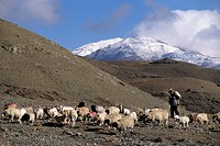 A SHEEP HERDER with his animals in the YARLUNG VALLEY of CENTRAL TIBET, China, Tibet
