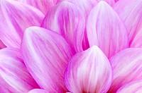 georgina Dahlia ´Allmands Climax´, Dahlia Allmands Climax, petals