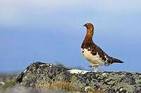 willow grouse Lagopus lagopus, male walking in the fjell, Sweden, Lapland