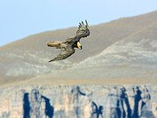 Lammergeier, Bearded Vulture Gypaetus barbatus, in flight, Spain, Pyrenees, Aragon, Huesca
