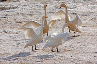 whooper swan Cygnus cygnus, four individuals mating on a snowcapped meadow, Sweden