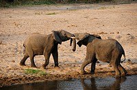 Fighting African Bush Bull Elephants (Loxodonta africana) on the bank of the Tarangire River, Tarangire-National Park, Tanzania, Africa