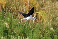 black_winged stilt Himantopus himantopus, flying, Italy, Apulia, Pulia