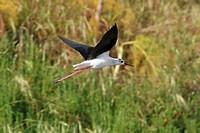 black_winged stilt Himantopus himantopus, flying, Italy, Apulia, Pulia
