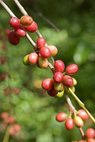 Coffee beans on a bush, Sierra de San Luis, Venezuela, South America