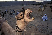 Roaring camel and bedouines in desert