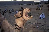 Roaring camel and bedouines in desert