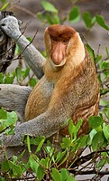 Adult proboscis monkey nasalis larvatus eating amongst mangroves