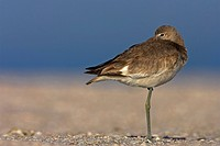 willet Catoptrophorus semipalmatus, standing on one leg at sandy beach, USA, Florida