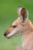 Close_up of a red_necked wallaby Macropus rufogriseus
