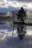 Scots Pine on Loch Garten