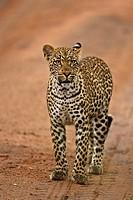 Leopard cub Panthera pardus walking in Mala Mala, South Africa