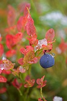 Bilberry or European Blueberry Vaccinium myrtillus, Finland, Scandinavia, Europe