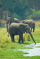 African elephants drinking in the Chongwe river near the junction with the Zambezi